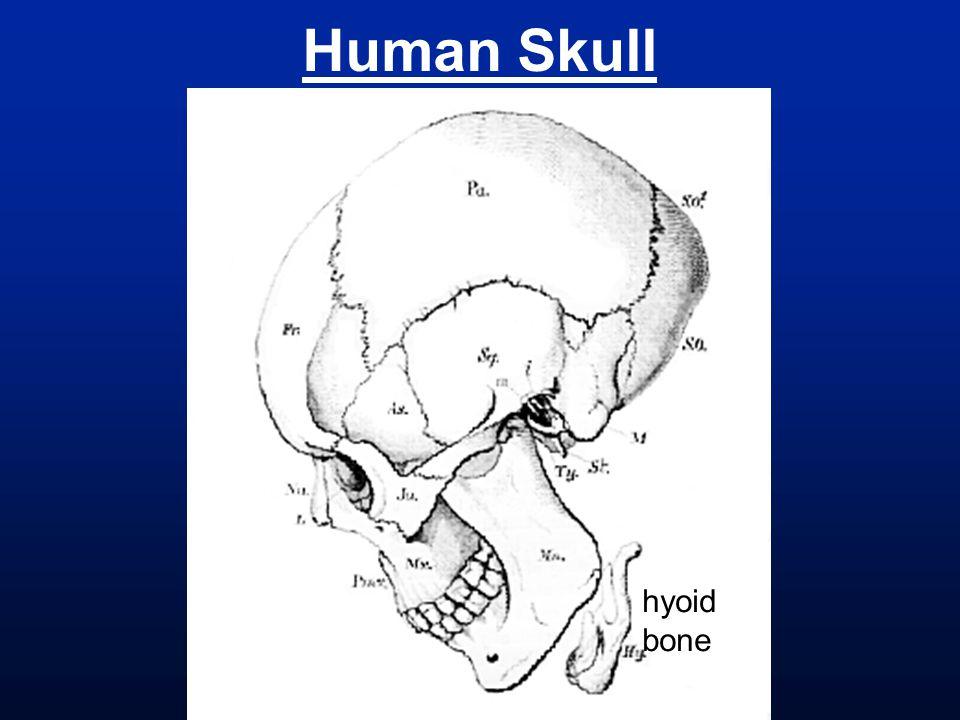 Human Skull hyoid bone