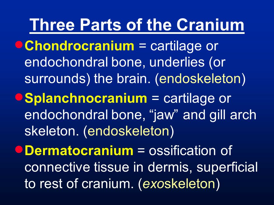 Three Parts of the Cranium  Chondrocranium = cartilage or endochondral bone, underlies (or surrounds) the brain.