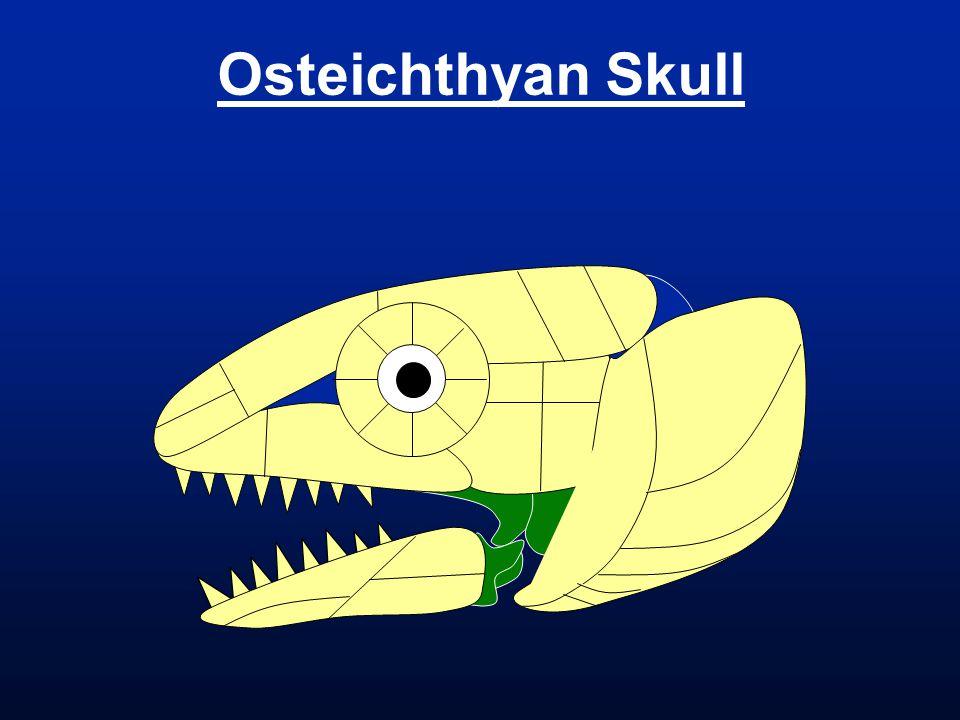 Osteichthyan Skull