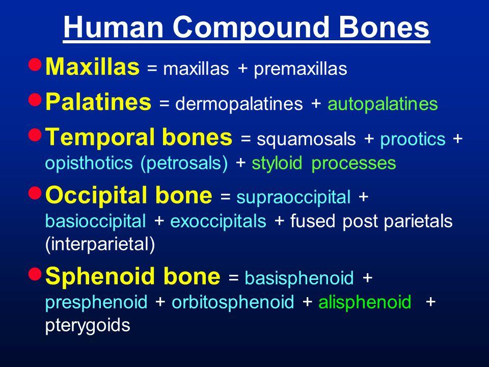 Human Compound Bones  Maxillas = maxillas + premaxillas  Palatines = dermopalatines + autopalatines  Temporal bones = squamosals + prootics + opisthotics (petrosals) + styloid processes  Occipital bone = supraoccipital + basioccipital + exoccipitals + fused post parietals (interparietal)  Sphenoid bone = basisphenoid + presphenoid + orbitosphenoid + alisphenoid + pterygoids