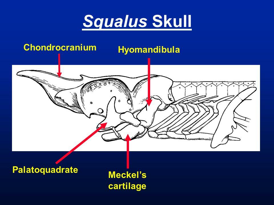 Squalus Skull Chondrocranium Palatoquadrate Meckel's cartilage Hyomandibula