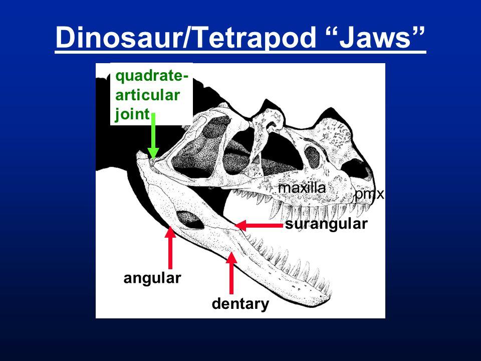 Dinosaur/Tetrapod Jaws angular dentary surangular quadrate- articular joint pmx maxilla
