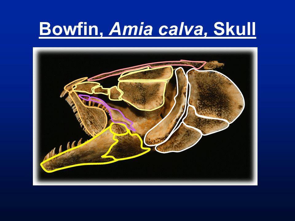 Bowfin, Amia calva, Skull