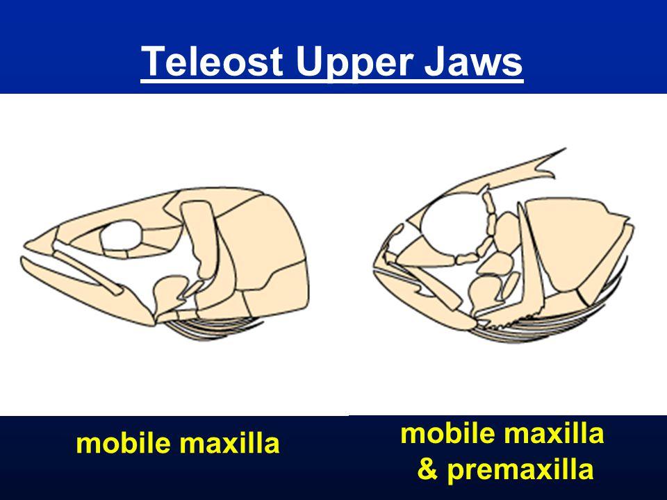 Teleost Upper Jaws mobile maxilla & premaxilla