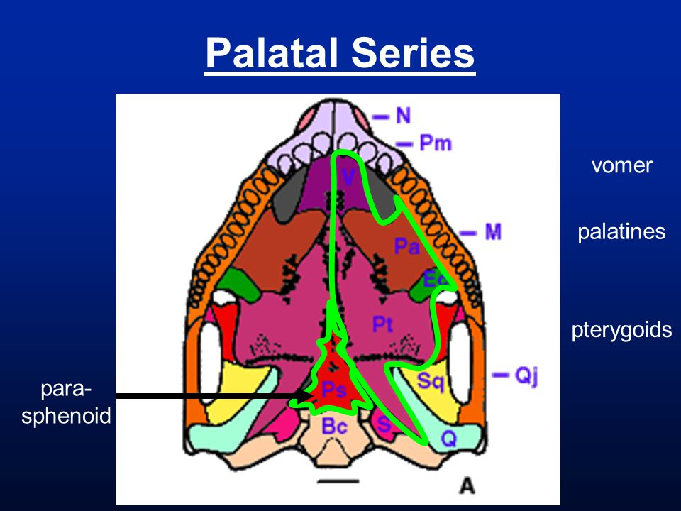 Palatal Series vomer palatines pterygoids para- sphenoid