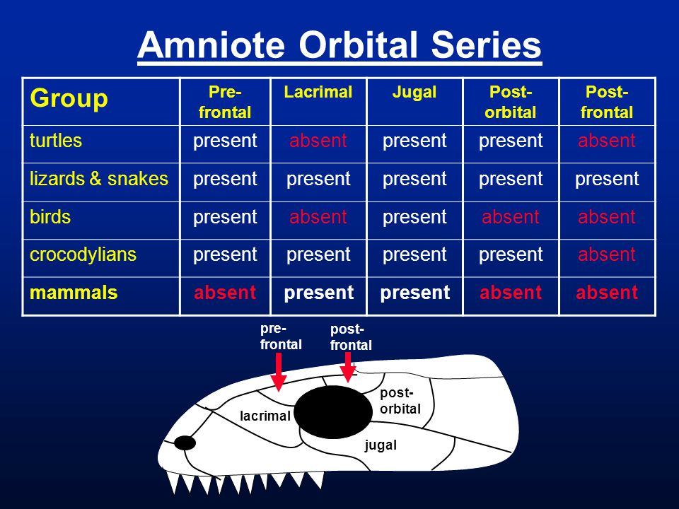 Amniote Orbital Series Group Pre- frontal LacrimalJugalPost- orbital Post- frontal turtlespresentabsentpresent absent lizards & snakespresent birdspresentabsentpresentabsent crocodylianspresent absent mammalsabsentpresent absent lacrimal jugal post- orbital pre- frontal post- frontal