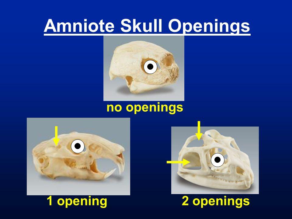 Amniote Skull Openings 1 opening2 openings no openings