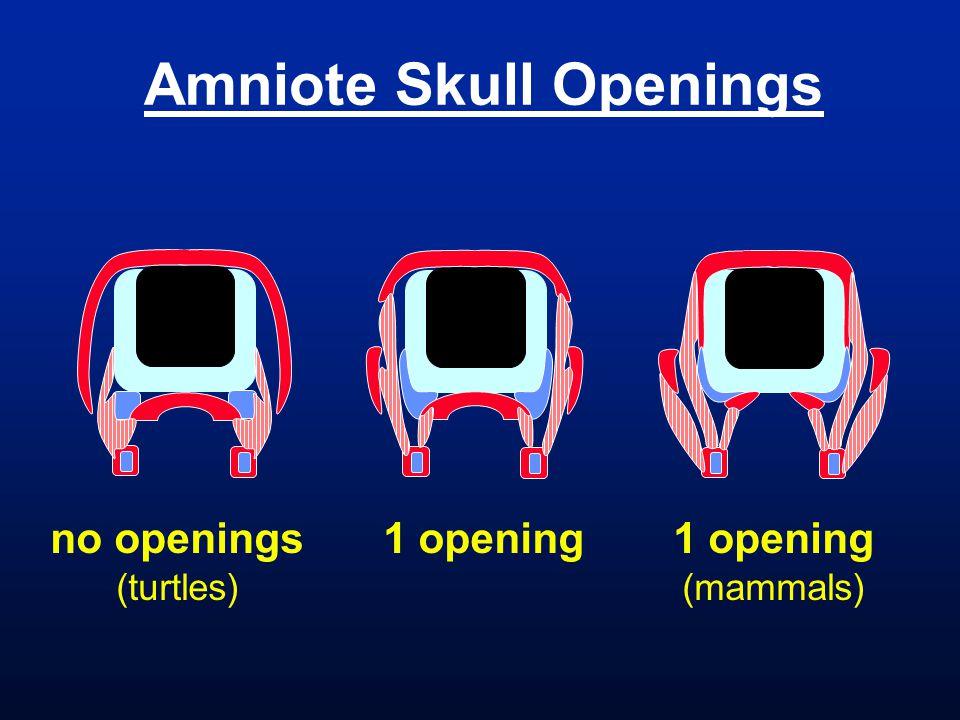 Amniote Skull Openings no openings (turtles) 1 opening (mammals)