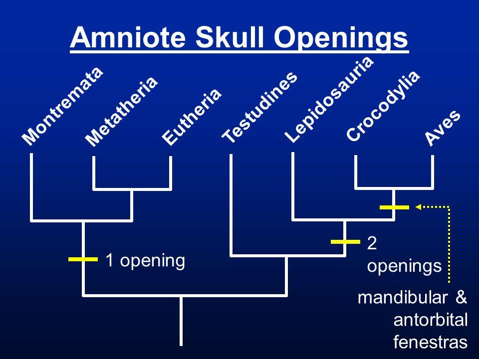 Amniote Skull Openings Montremata Metatheria Eutheria Testudines Lepidosauria Crocodylia Aves 1 opening 2 openings mandibular & antorbital fenestras