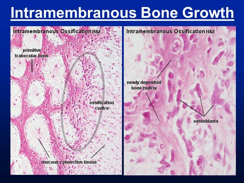 Jaws & Jaw Joint stapes articular quadrate dentary angular squamosal maxila pmx jugal Non-mammalian tetrapods