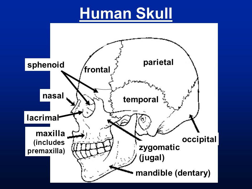 Dematocranium  Nasals  Frontal  Parietals  Maxillas  Mandible/Dentaries  Lacrimals  Zygomatics/Jugals  Vomer  Palatines  Pterygoid proc.
