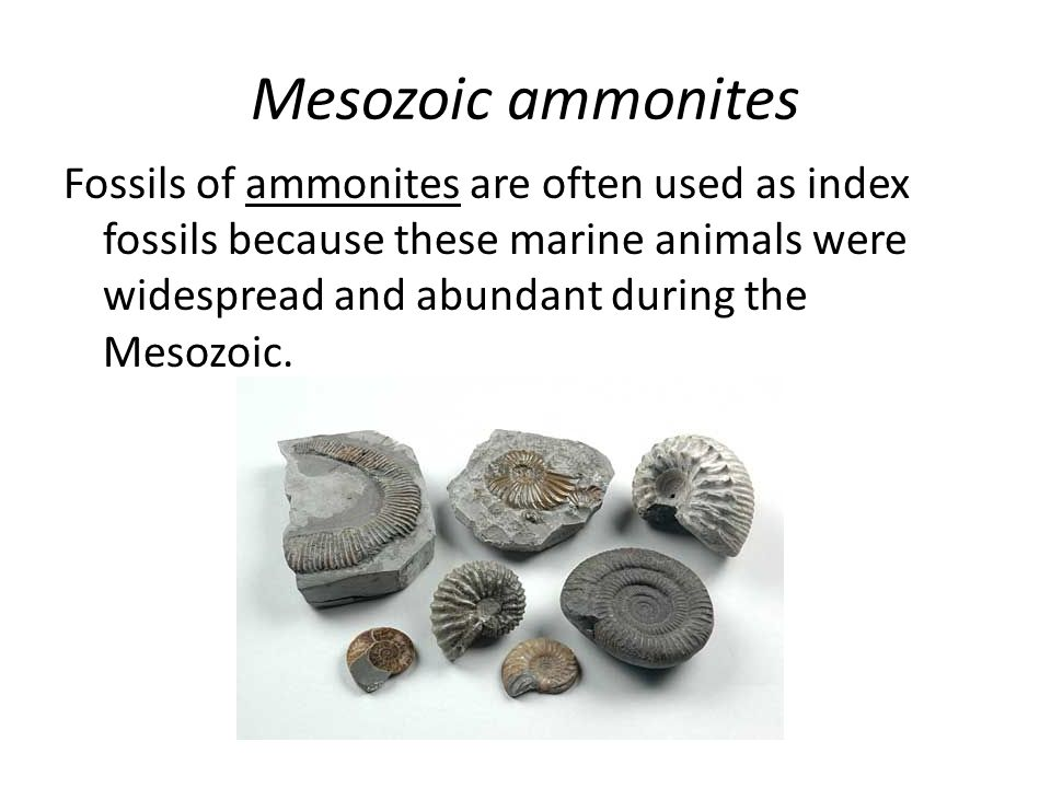 Mesozoic ammonites Fossils of ammonites are often used as index fossils because these marine animals were widespread and abundant during the Mesozoic.