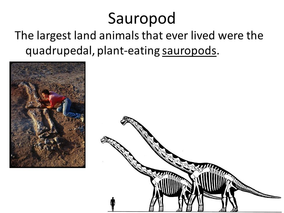 Sauropod The largest land animals that ever lived were the quadrupedal, plant-eating sauropods.