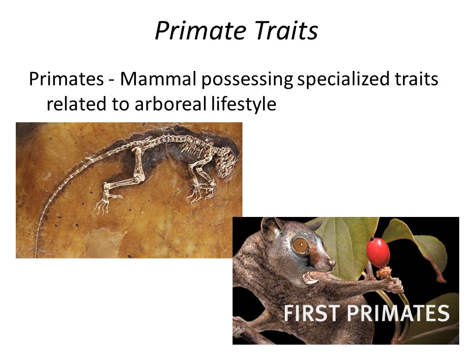 Primate Traits Primates - Mammal possessing specialized traits related to arboreal lifestyle