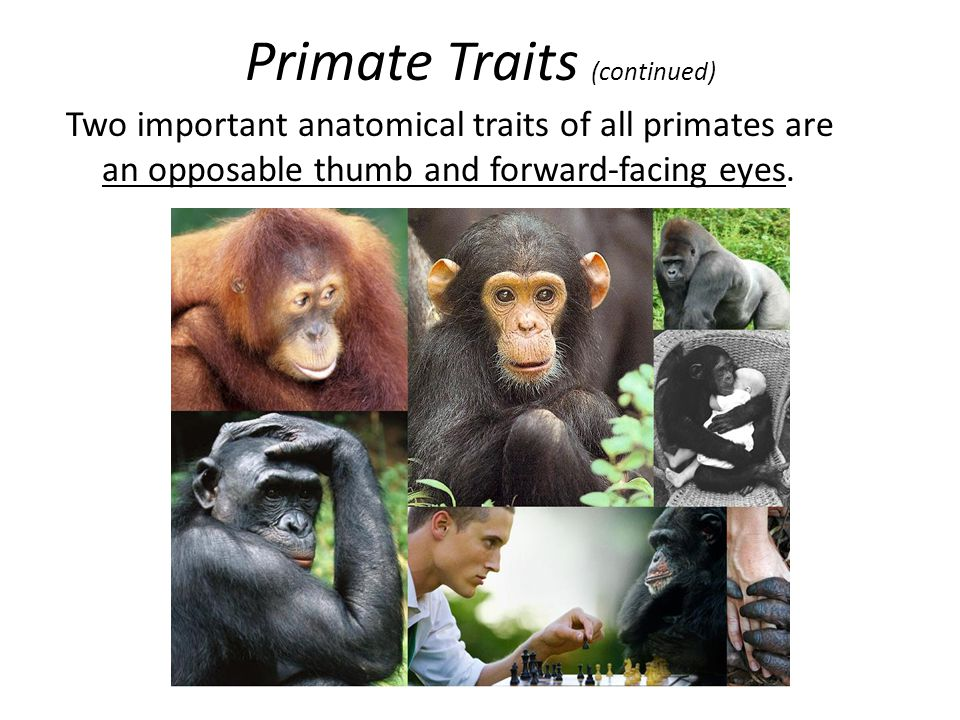 Primate Traits (continued) Two important anatomical traits of all primates are an opposable thumb and forward-facing eyes.