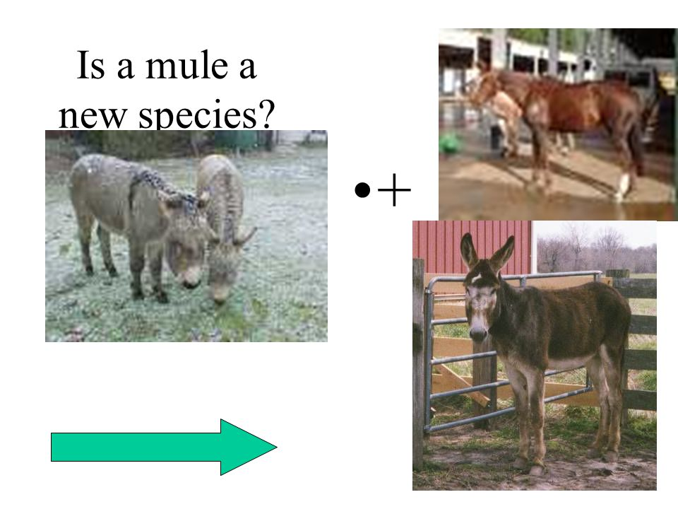 Is a mule a new species? +