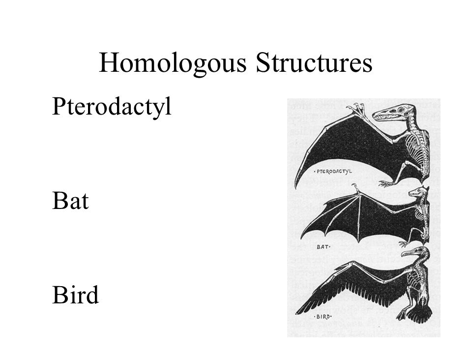 Homologous Structures Pterodactyl Bat Bird