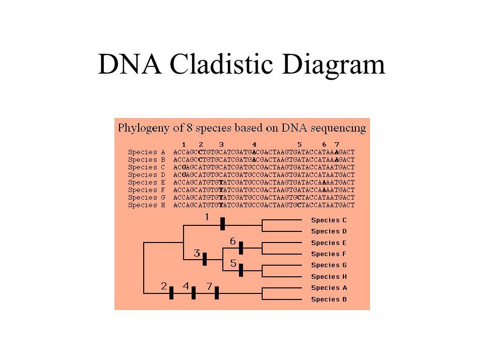 DNA Cladistic Diagram