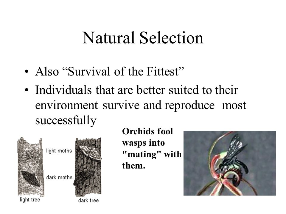 Natural Selection Also Survival of the Fittest Individuals that are better suited to their environment survive and reproduce most successfully Orchids fool wasps into mating with them.