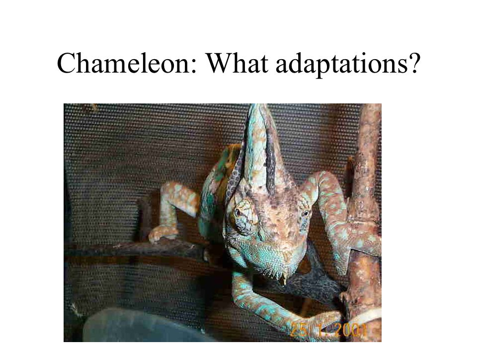 Chameleon: What adaptations?