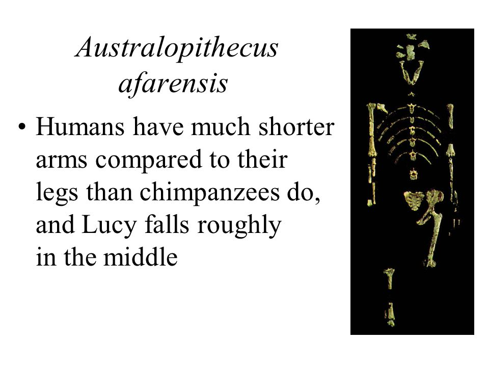 Australopithecus afarensis Humans have much shorter arms compared to their legs than chimpanzees do, and Lucy falls roughly in the middle