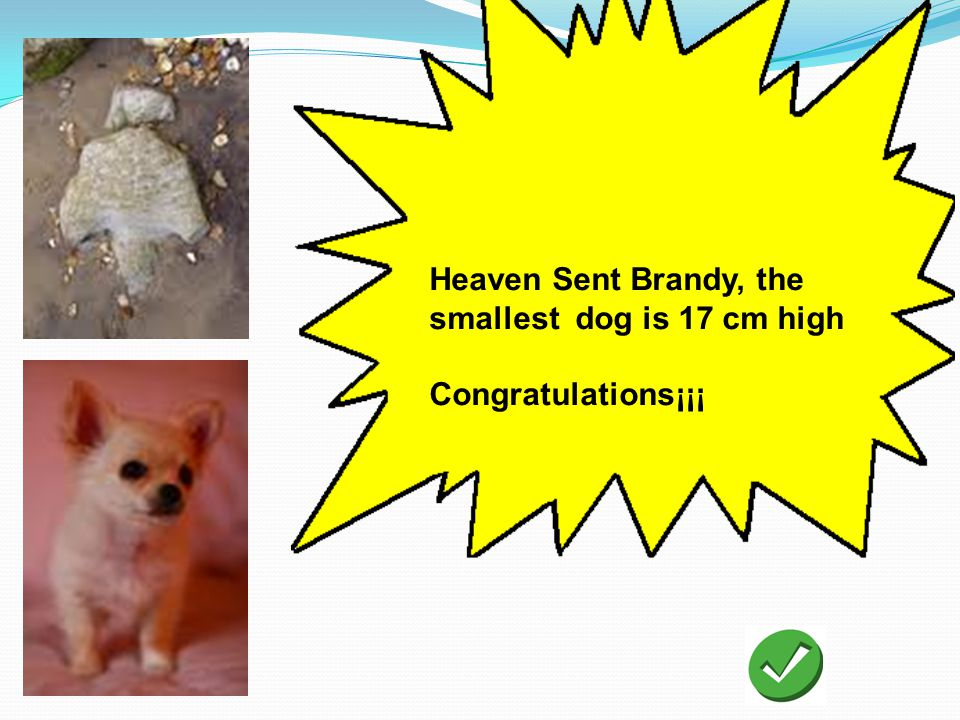 Heaven Sent Brandy, the smallest dog is 17 cm high Congratulations¡¡¡
