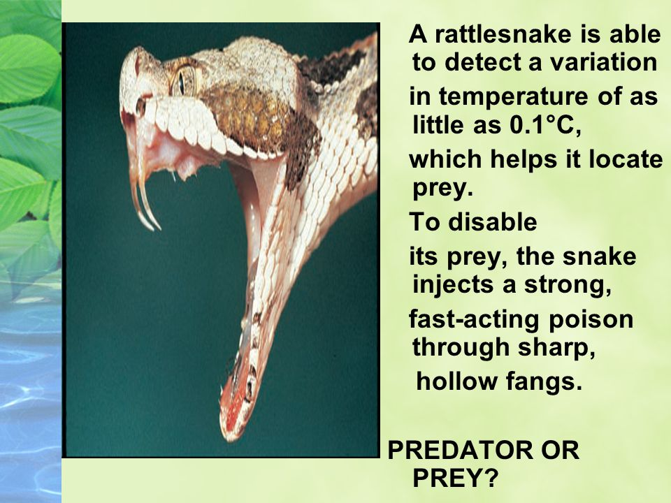 A rattlesnake is able to detect a variation in temperature of as little as 0.1°C, which helps it locate prey. To disable its prey, the snake injects a