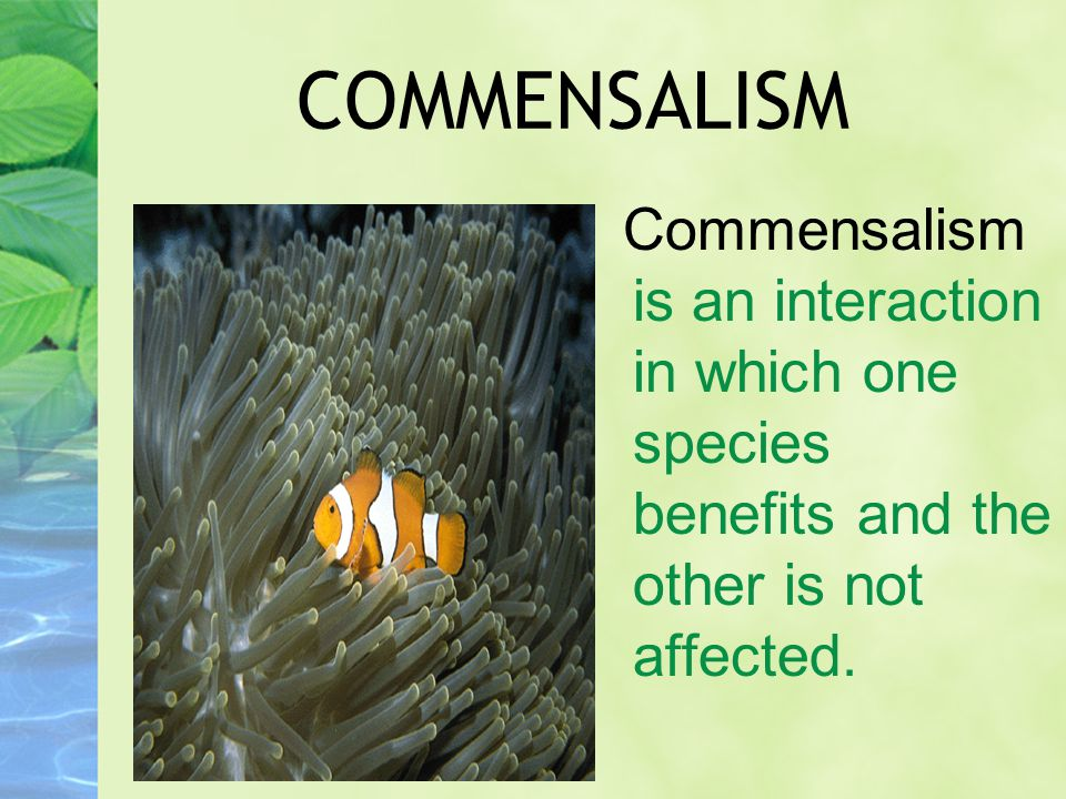 COMMENSALISM Commensalism is an interaction in which one species benefits and the other is not affected.