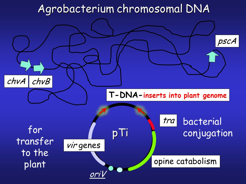 vir genes opine catabolism pTi tra for transfer to the plant bacterial conjugation Agrobacterium chromosomal DNA chvA chvB pscA oriV T-DNA- inserts into plant genome