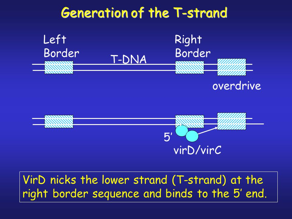 Generation of the T-strand overdrive Right Border Left Border T-DNA virD/virC VirD nicks the lower strand (T-strand) at the right border sequence and binds to the 5' end.