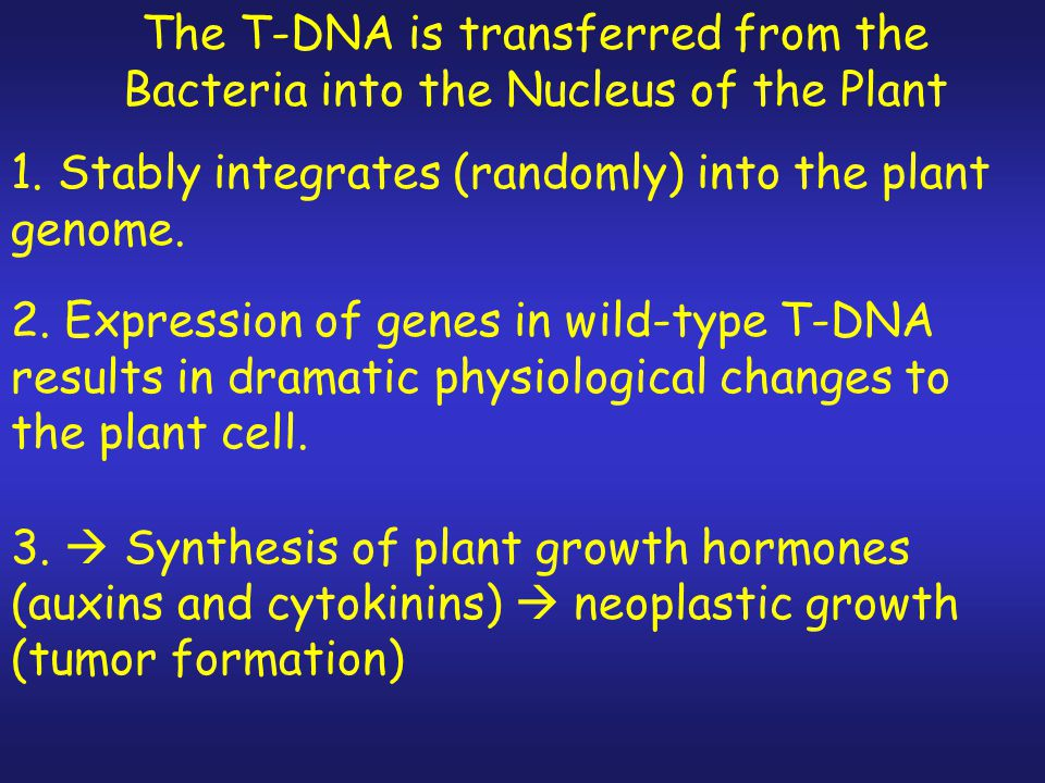 The T-DNA is transferred from the Bacteria into the Nucleus of the Plant 1.