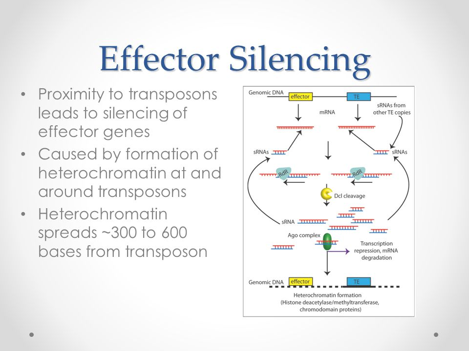 Effector Silencing Proximity to transposons leads to silencing of effector genes Caused by formation of heterochromatin at and around transposons Hete