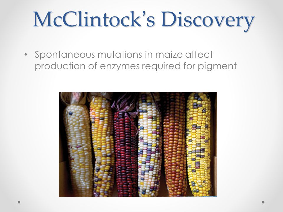 McClintock's Discovery Spontaneous mutations in maize affect production of enzymes required for pigment