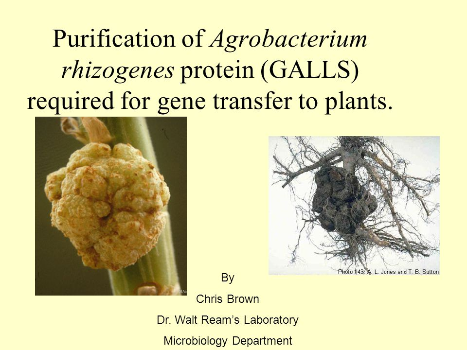 Purification of Agrobacterium rhizogenes protein (GALLS) required for gene transfer to plants.