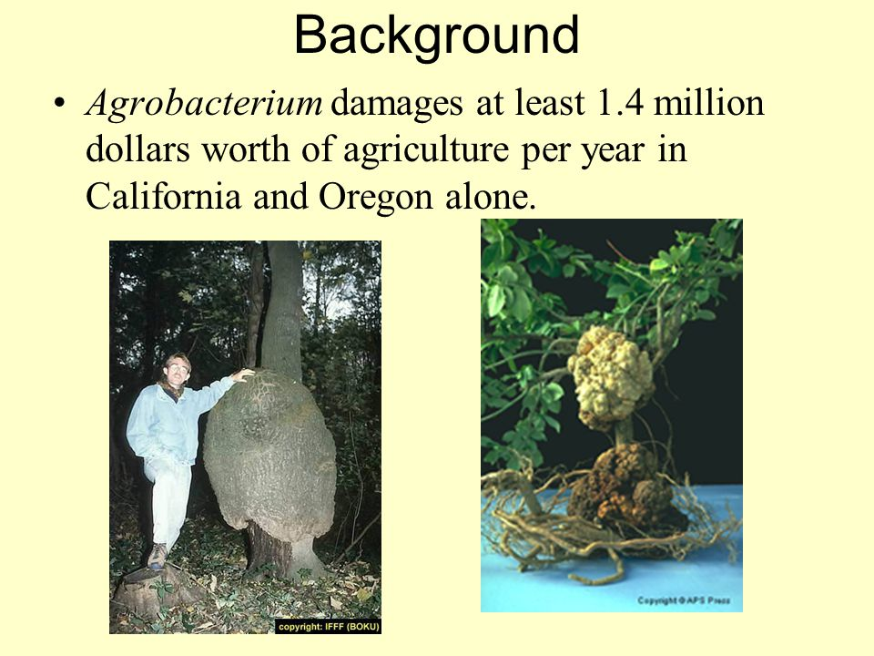 Background Agrobacterium damages at least 1.4 million dollars worth of agriculture per year in California and Oregon alone.