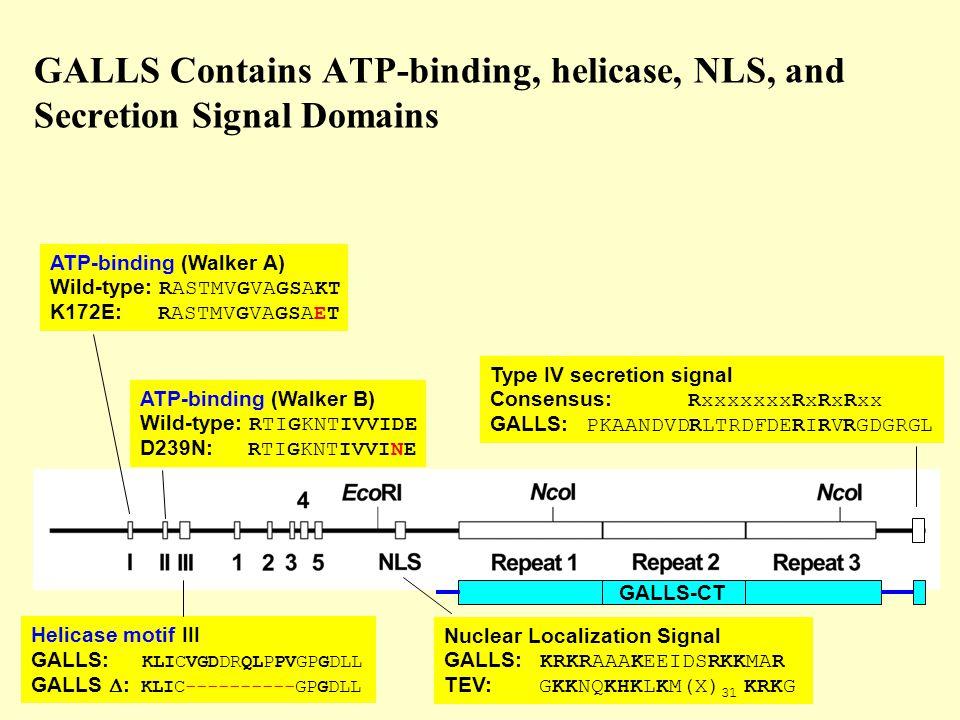 GALLS Contains ATP-binding, helicase, NLS, and Secretion Signal Domains ATP-binding (Walker A) Wild-type: RASTMVGVAGSAKT K172E: RASTMVGVAGSAET ATP-binding (Walker B) Wild-type: RTIGKNTIVVIDE D239N: RTIGKNTIVVINE Helicase motif III GALLS: KLICVGDDRQLPPVGPGDLL GALLS  : KLIC----------GPGDLL Nuclear Localization Signal GALLS: KRKRAAAKEEIDSRKKMAR TEV: GKKNQKHKLKM(X) 31 KRKG Type IV secretion signal Consensus: RxxxxxxxRxRxRxx GALLS: PKAANDVDRLTRDFDERIRVRGDGRGL GALLS-CT