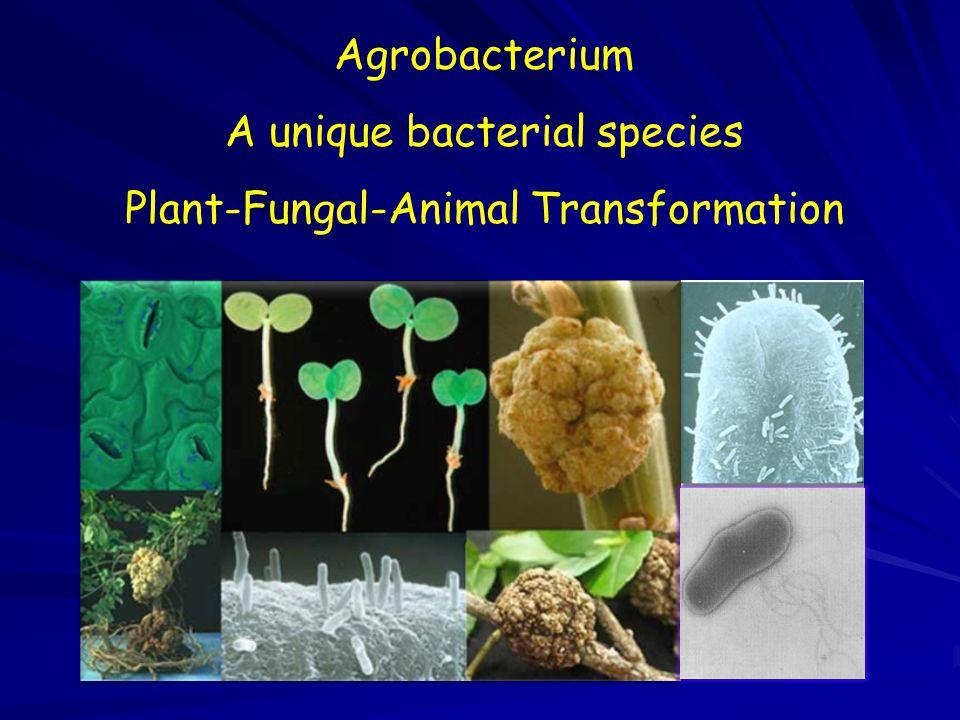 Agrobacterium A unique bacterial species Plant-Fungal-Animal Transformation