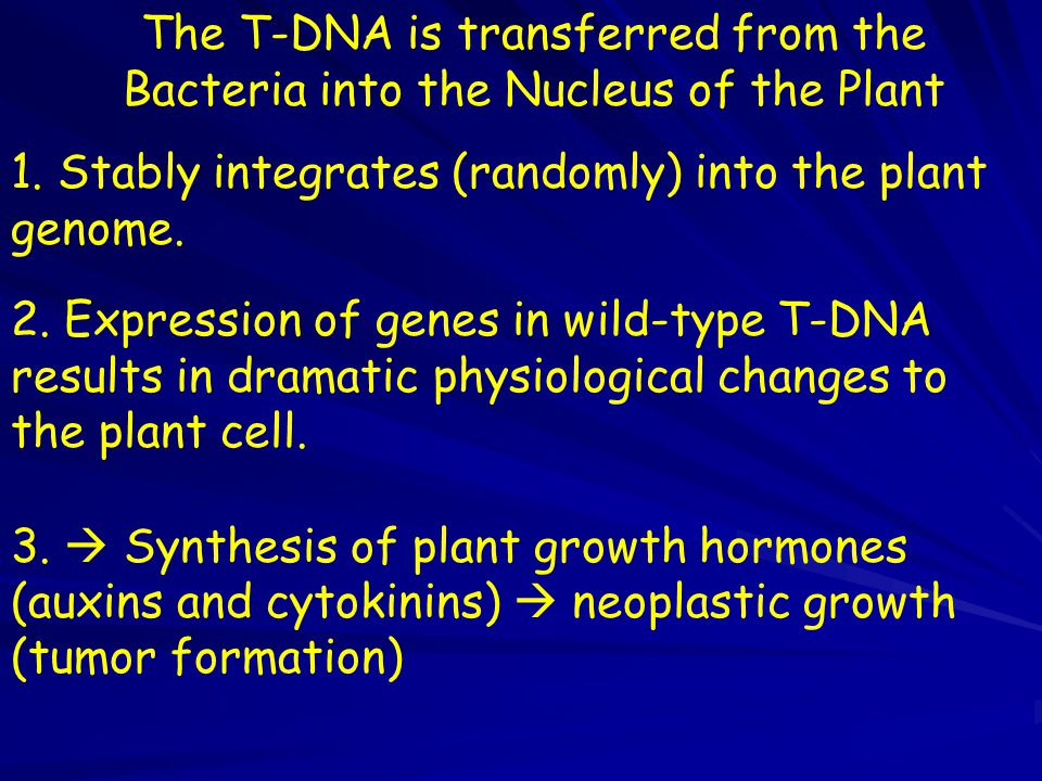 The T-DNA is transferred from the Bacteria into the Nucleus of the Plant 1. Stably integrates (randomly) into the plant genome. 2. Expression of genes