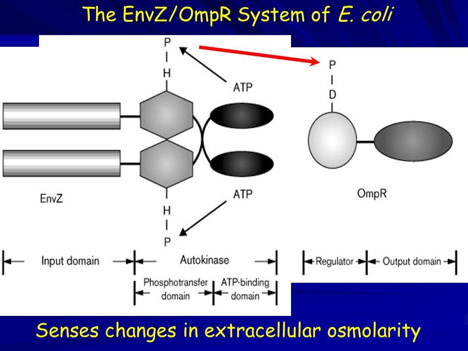 The EnvZ/OmpR System of E. coli Senses changes in extracellular osmolarity