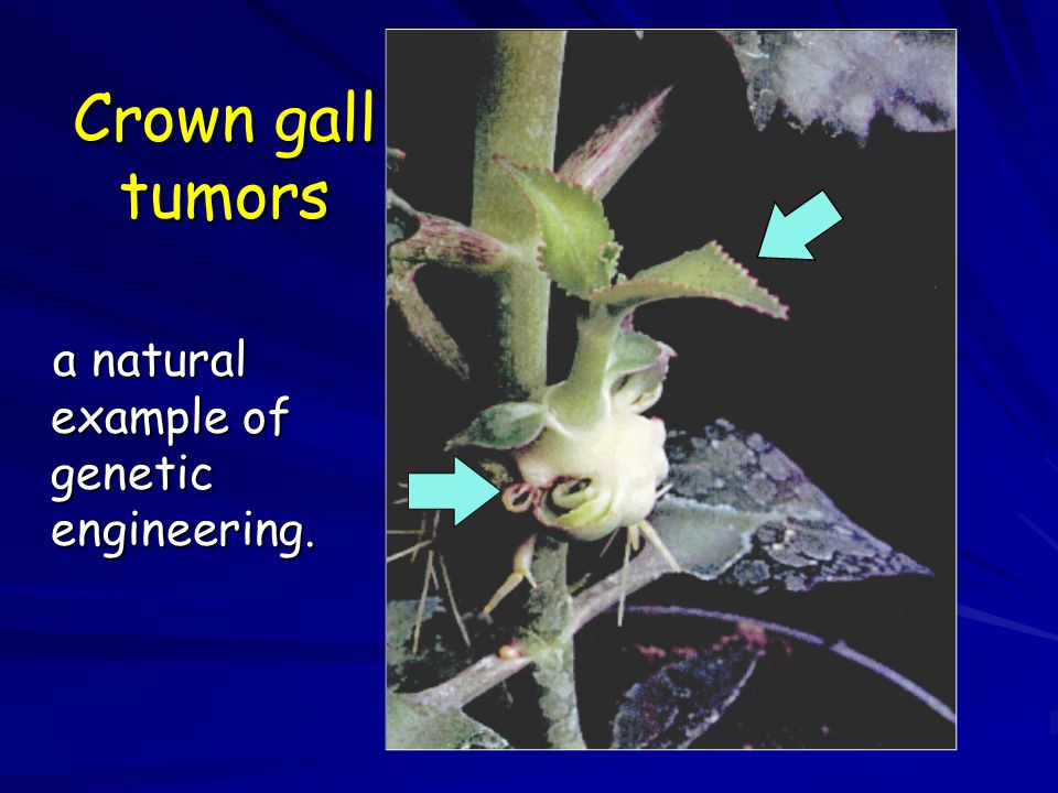 Crown gall tumors a natural example of genetic engineering. a natural example of genetic engineering.