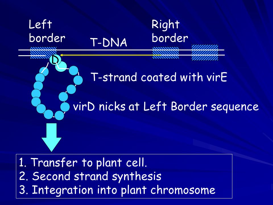 1. Transfer to plant cell. 2. Second strand synthesis 3. Integration into plant chromosome Right border Left border D T-strand coated with virE T-DNA
