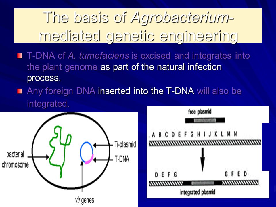 The basis of Agrobacterium- mediated genetic engineering T-DNA of A. tumefaciens is excised and integrates into the plant genome as part of the natura