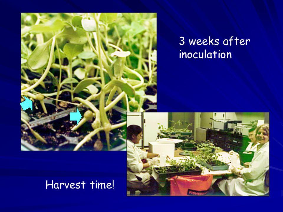 Harvest time! 3 weeks after inoculation