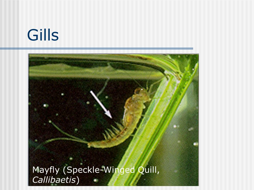 Gills Mayfly (Speckle-Winged Quill, Callibaetis)