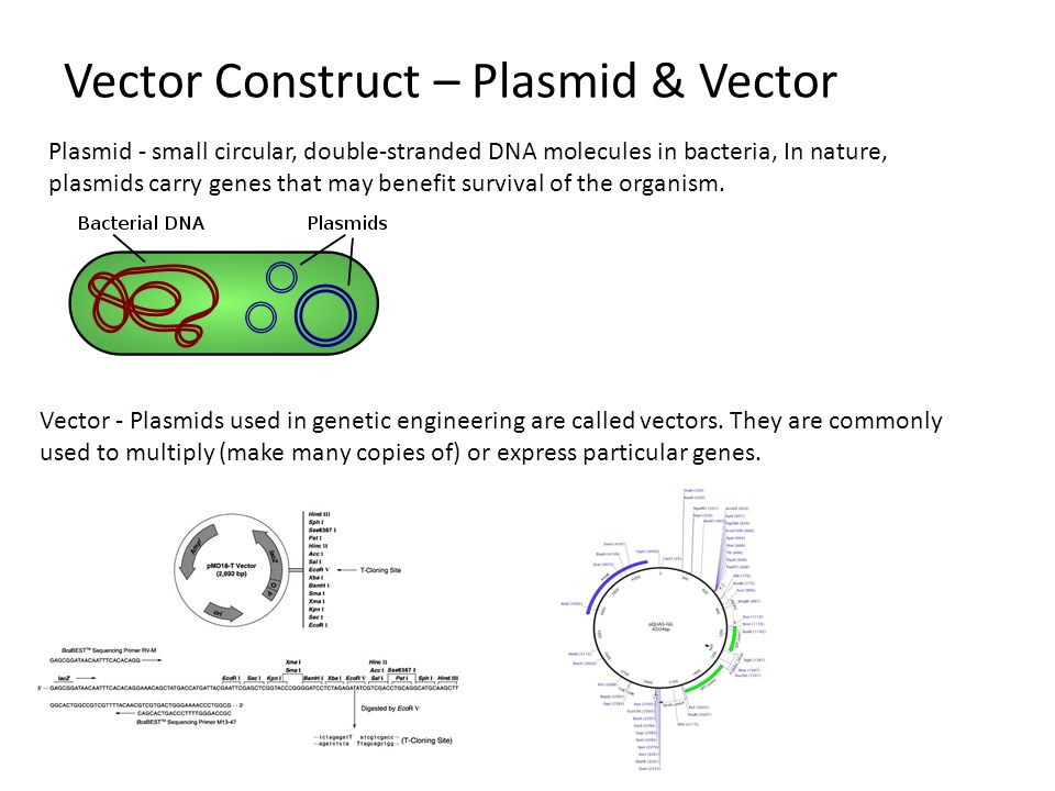 Plasmid - small circular, double-stranded DNA molecules in bacteria, In nature, plasmids carry genes that may benefit survival of the organism.