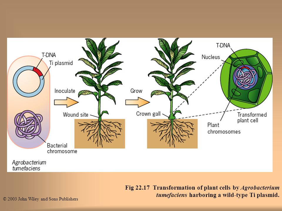 Fig 22.17 Transformation of plant cells by Agrobacterium tumefaciens harboring a wild-type Ti plasmid.
