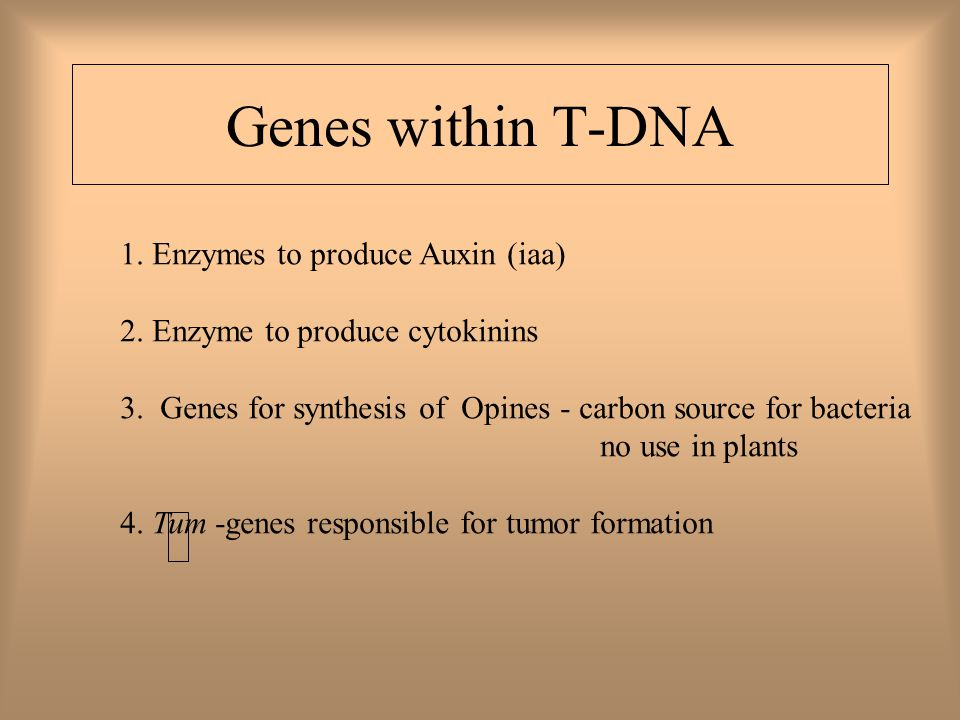 Genes within T-DNA 1. Enzymes to produce Auxin (iaa) 2.
