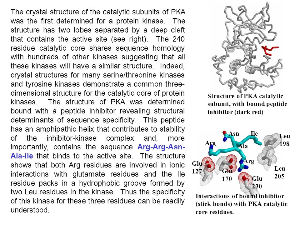 The crystal structure of the catalytic subunits of PKA was the first determined for a protein kinase. The structure has two lobes separated by a deep