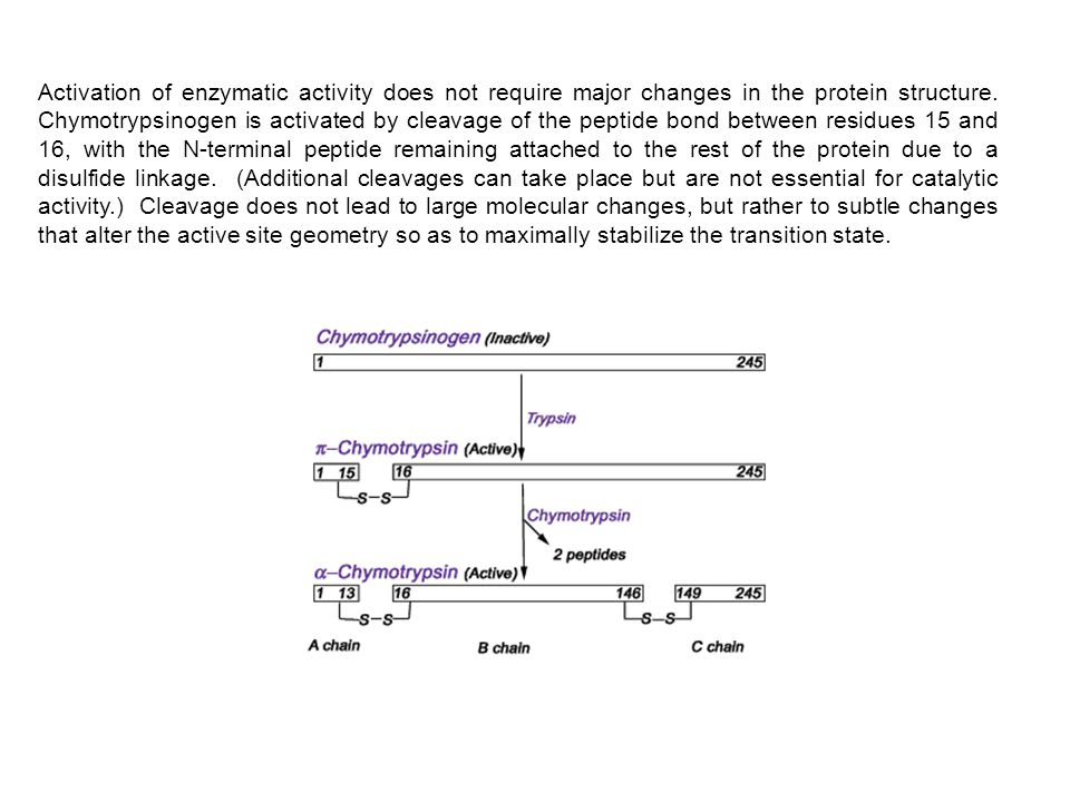 Activation of enzymatic activity does not require major changes in the protein structure. Chymotrypsinogen is activated by cleavage of the peptide bon
