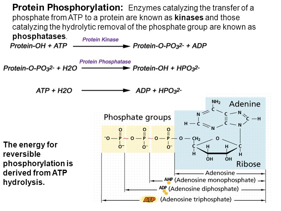 The energy for reversible phosphorylation is derived from ATP hydrolysis. Protein Phosphorylation: Enzymes catalyzing the transfer of a phosphate from